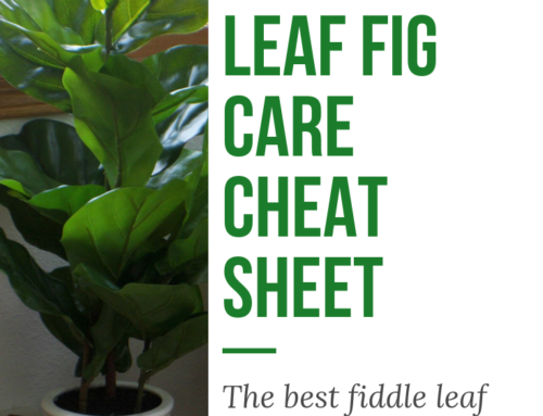 Fiddle Leaf Fig Care Cheat Sheet
