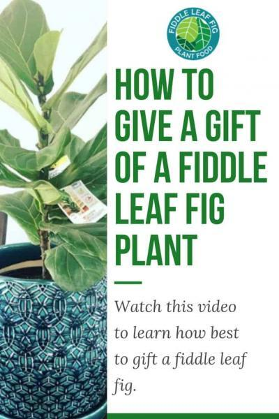 Gift a Fiddle Leaf Fig