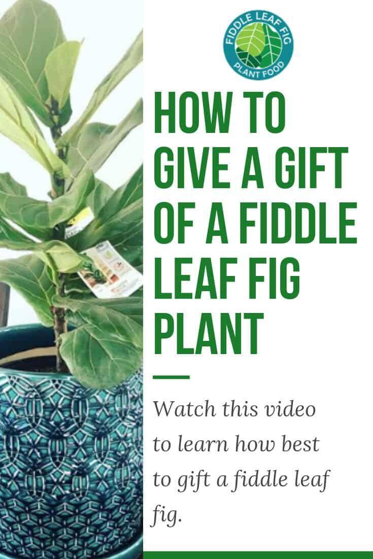 Gift a Fiddle Leaf Fig