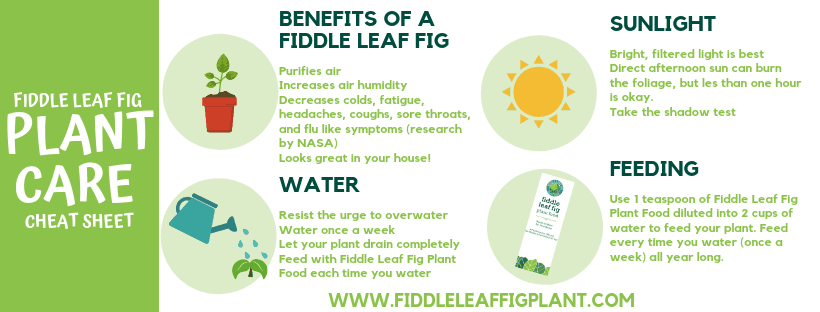 Fiddle Leaf Fig Care Cheat Sheet