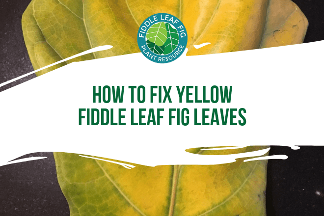 Do you have yellow fiddle leaf fig leaves on your tree? Click to learn what it means to have yellow fiddle leaf fig leaves and how to fix them.