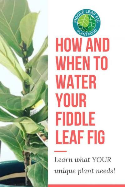 How and When to Water Your Fiddle Leaf Fig