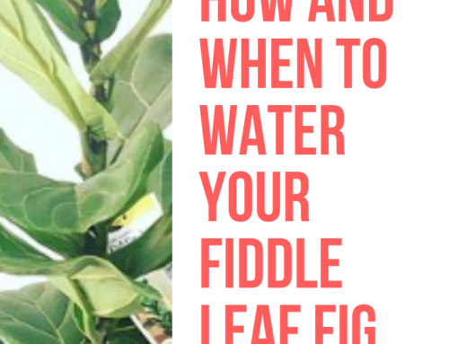 How and When to Water A Fiddle Leaf Fig: A Routine for Your Unique Plant