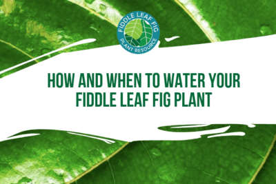 Wondering how and when to water a fiddle leaf fig plant? Click to discover a watering routing for your unique fiddle leaf fig plant.