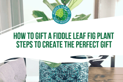Ready to gift a fiddle leaf fig plant? Watch this video to learn the steps to create the perfect fiddle leaf fig gift for every occasion.