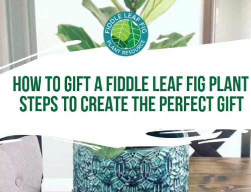 How to Gift a Fiddle Leaf Fig Plant – Steps To Create The Perfect Gift