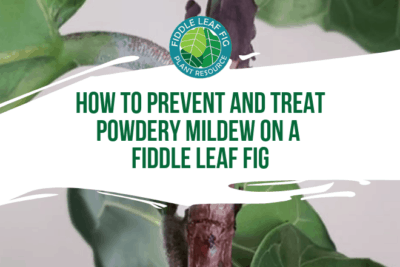 Click to learn how to prevent and treat powdery mildew on a fiddle leaf fig. Also learn what not to do when your fiddle leaf fig is infected.