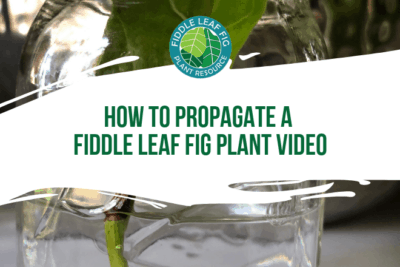 Wonering how to propagate a fiddle leaf fig? Click to watch this video on how best to propagate a fiddle leaf fig plant and grow additional plants.