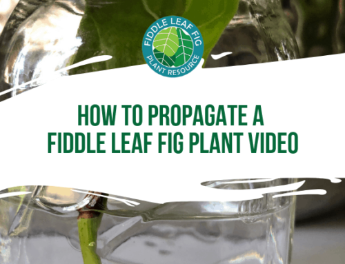 How to Propagate a Fiddle Leaf Fig (Video)
