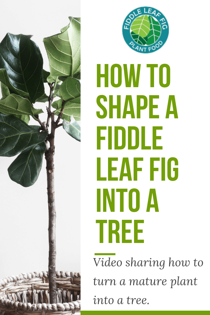 Do you have a mature fiddle leaf fig that is lanky or lopsided? Click to watch a video on how to shape a fiddle leaf fig into a tree.