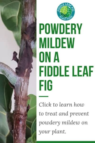 Mildew on Fiddle Leaf Fig