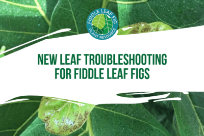 New Leaf Troubleshooting for Fiddle Leaf Figs