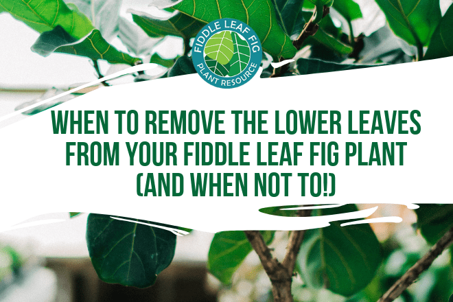 Do you wonder when to remove the lower leaves from your fiddle leaf fig and when not to? Click to read more about the lower leaves and how to remove them.