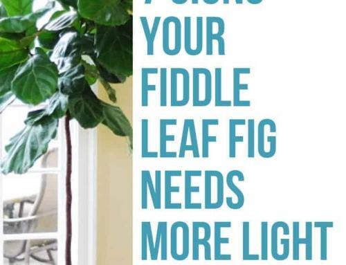 The Seven Signs Your Fiddle Leaf Fig Needs More Light