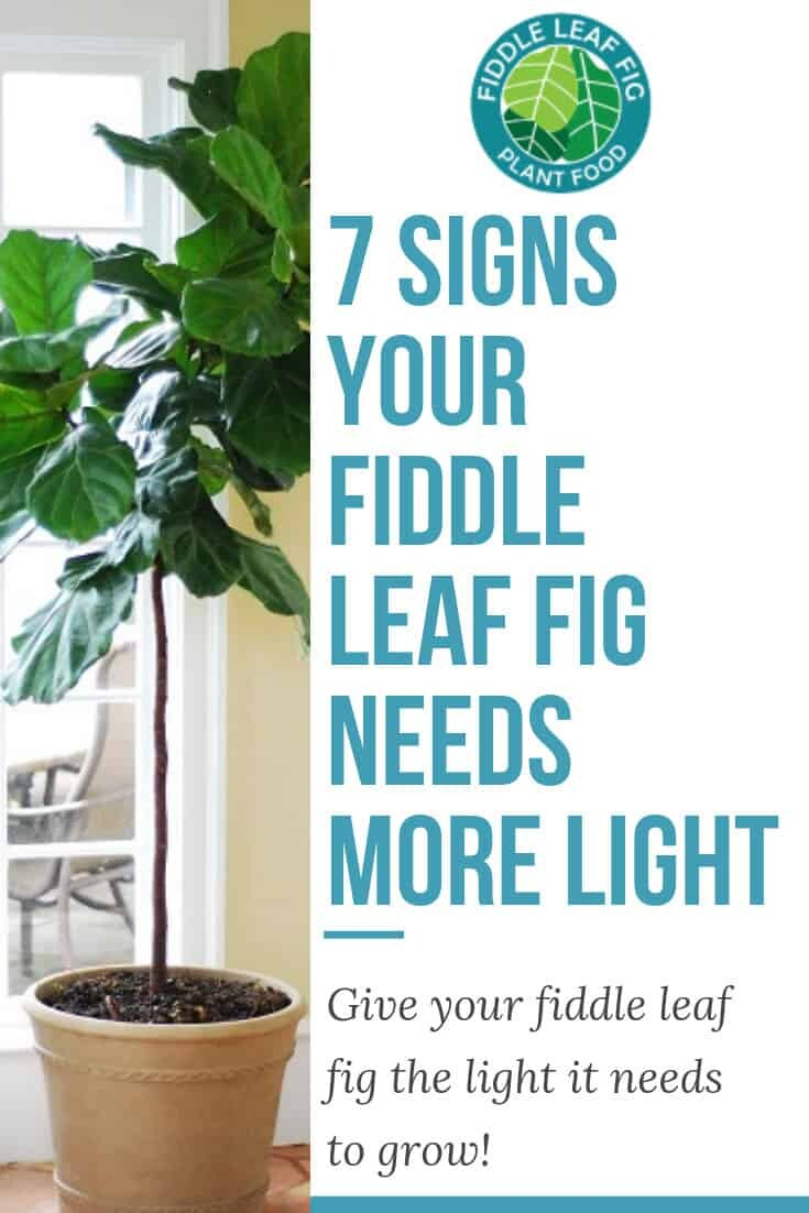Seven Signs Your Fiddle Leaf Fig Needs More Light