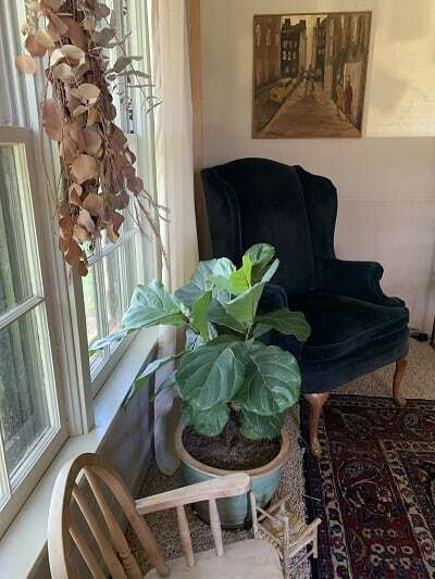 Grow a healthy fiddle leaf fig and learn the seven signs your fiddle leaf fig needs more light. Read how to remedy your light situation with your plant. Claire Akin
