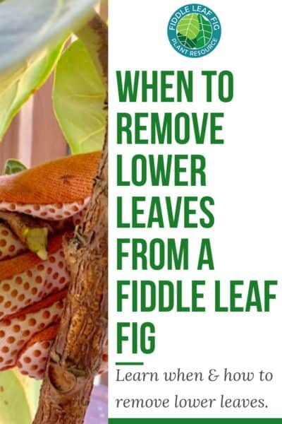 Remove Lower Leaves from Fiddle Leaf Fig
