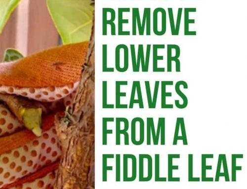 When to Remove the Lower Leaves From Your Fiddle Leaf Fig (And When NOT To!)