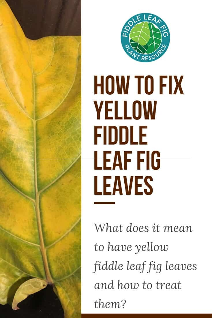 Yellow Fiddle Leaf Fig Leaves