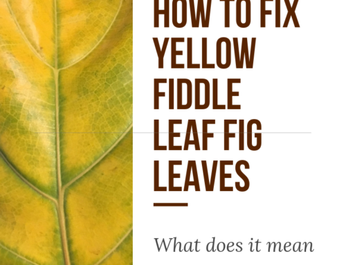 How to Fix Yellow Fiddle Leaf Fig Leaves