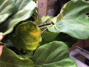 yellowing fiddle leaf fig leaf