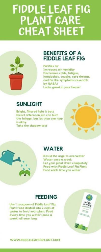 Fiddle Leaf Fig Care Sheet