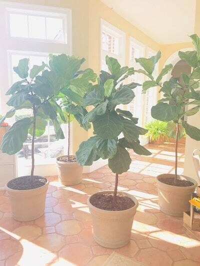 Do you have drooping fiddle leaf fig leaves? Click to read the 5 causes of drooping fiddle leaf fig leaves and how to diagnose the problem
