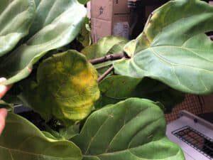 yellowing fiddle leaf fig leaf