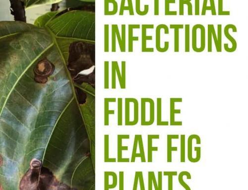 How to Prevent and Treat Bacterial Infections in Fiddle Leaf Figs