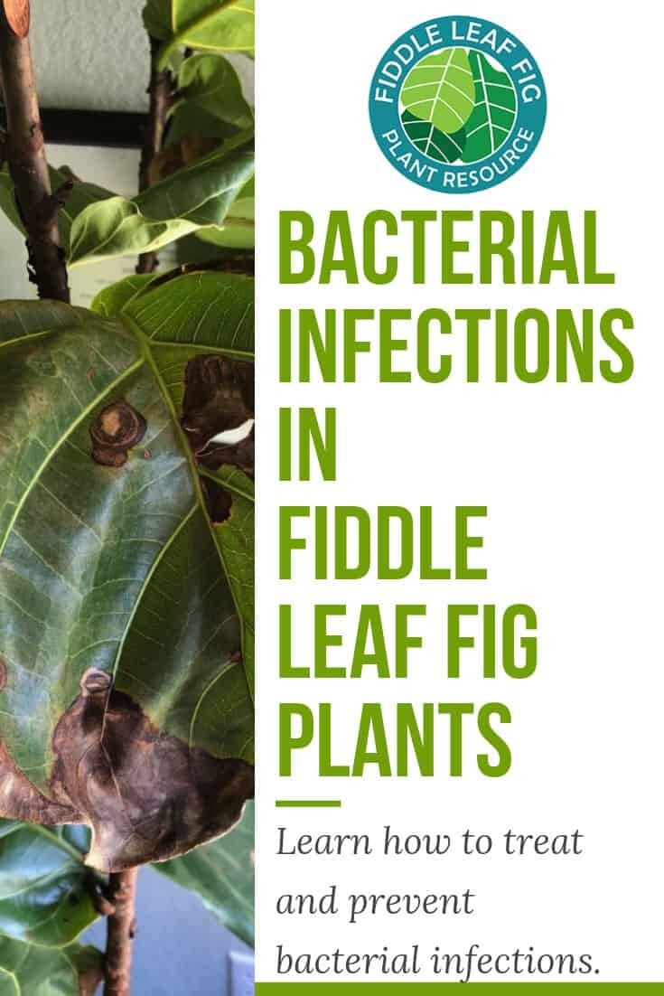 Bacterial Infections in Fiddle Leaf Fig Plants