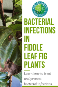 Curious how to prevent and treat bacterial infections in fiddle leaf figs? Click to learn the signs of an infection and how best to treat and prevent it. Claire Akin