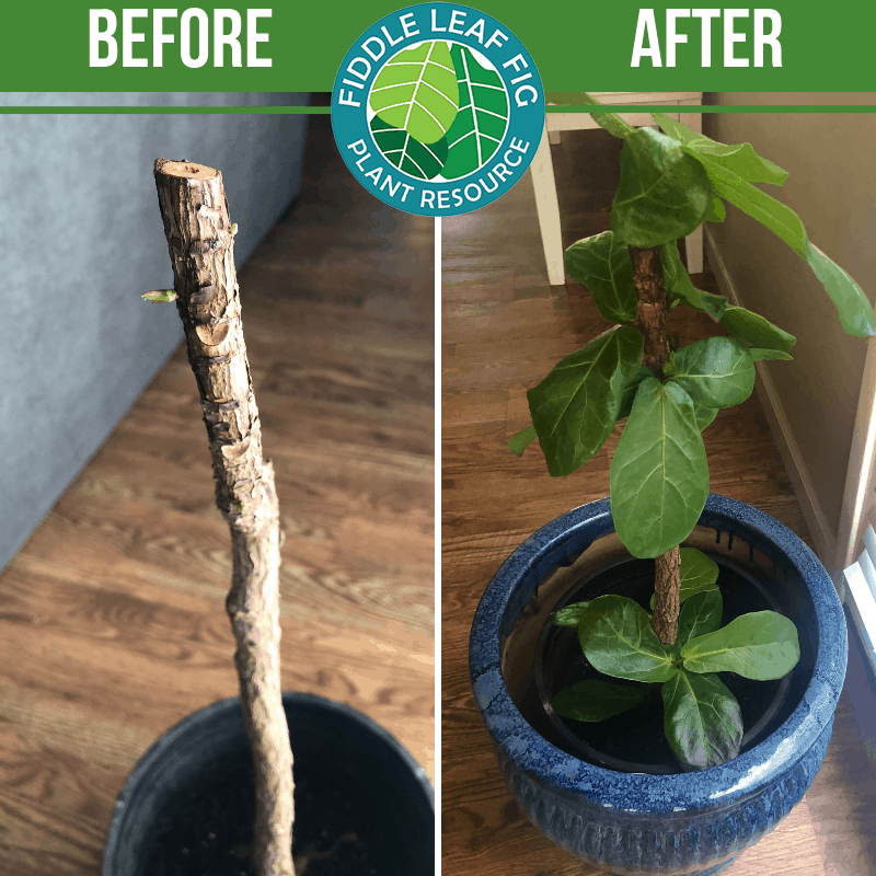 Fiddle Leaf Fig Before and After