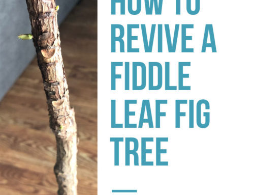 How to Revive a Fiddle Leaf Fig Tree: A Before and After Story
