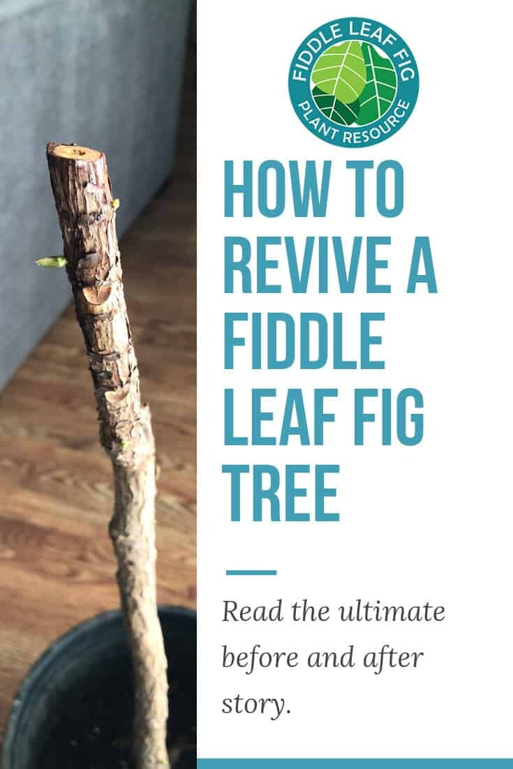 How to Revive a Fiddle Leaf Fig Tree A Before and After Story
