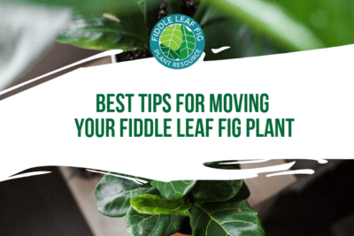 Moving your fiddle leaf fig plant and wondering how best to do it? Click to read the best tips for moving your fiddle leaf fig plant so it stays healthy.