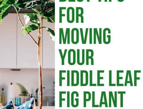 Best Tips for Moving Your Fiddle Leaf Fig Plant