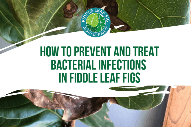 Curious how to prevent and treat bacterial infections in fiddle leaf figs? Click to learn the signs of an infection and how best to treat and prevent it.