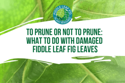 Wondering if you should prune your fiddle leaf fig plant? Not sure what to do with damaged fiddle leaf fig leaves? Click to read if you should prune or not.