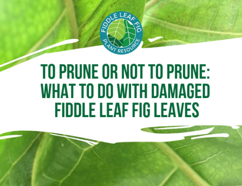 To Prune or Not to Prune: What to Do With Damaged Fiddle Leaf Fig Leaves