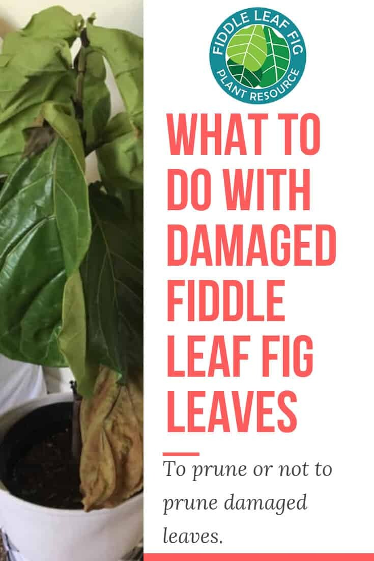 What to Do With Damaged Fiddle Leaf Fig Leaves 2