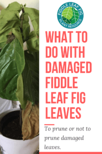 Wondering if you should prune your fiddle leaf fig plant? Not sure what to do with damaged fiddle leaf fig leaves? Click to read if you should prune or not. Claire Akin