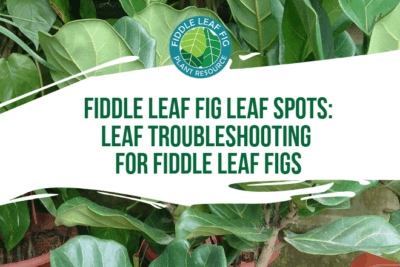 Seeing fiddle leaf fig leaf spots? Wondering what is causing spots on your fiddle leaf fig? Click to learn how to troubleshoot fiddle leaf fig leaf spots.