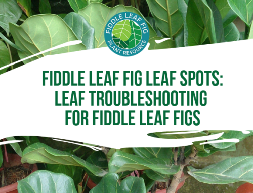 Fiddle Leaf Fig Leaf Spots: Leaf Troubleshooting for Fiddle Leaf Figs