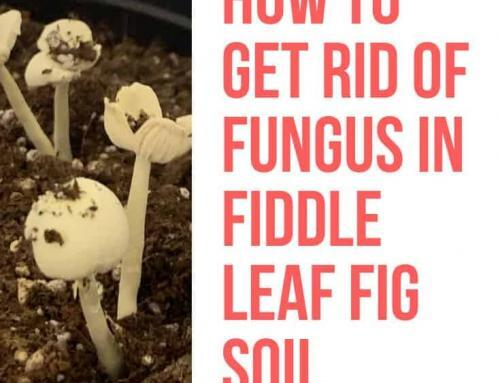 How to Get Rid of Fungus in Fiddle Leaf Fig Soil