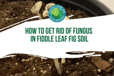 Are you wondering how to get rid of fungus in fiddle leaf fig soil? Read how you can rid your fiddle leaf fig soil of mushrooms and other fungi.