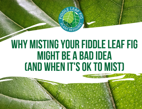 Why Misting Your Fiddle Leaf Fig Might Be a Bad Idea (and when it's okay to mist)