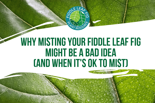 If you have considered misting your fiddle leaf fig plant, this post is for you. Learn why misting your fiddle leaf fig may be a bad idea and what to do.