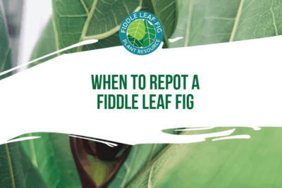 Wondering when to repot a fiddle leaf fig? Not sure on if you should repot of not? Click to read more about when you can safely repot your fiddle leaf fig.