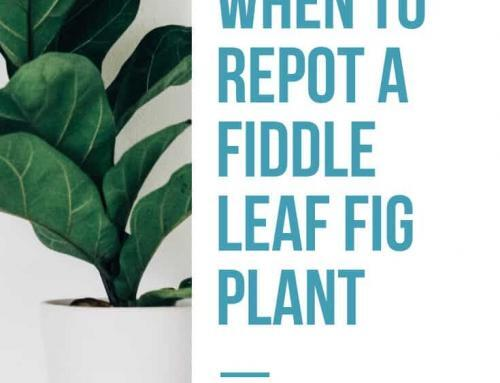 When to Repot a Fiddle Leaf Fig…and When to NOT
