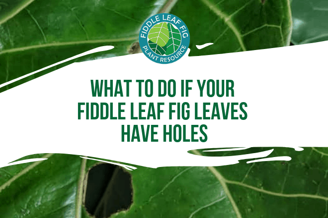 Do your fiddle leaf fig leaves have holes? Click to learn why this happens and what you can do with holes in your fiddle leaf fig leaves.
